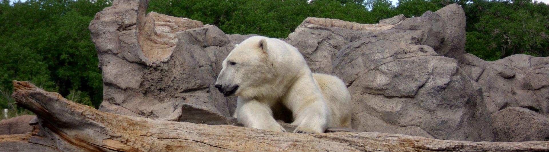 The Hangry Polar Bear